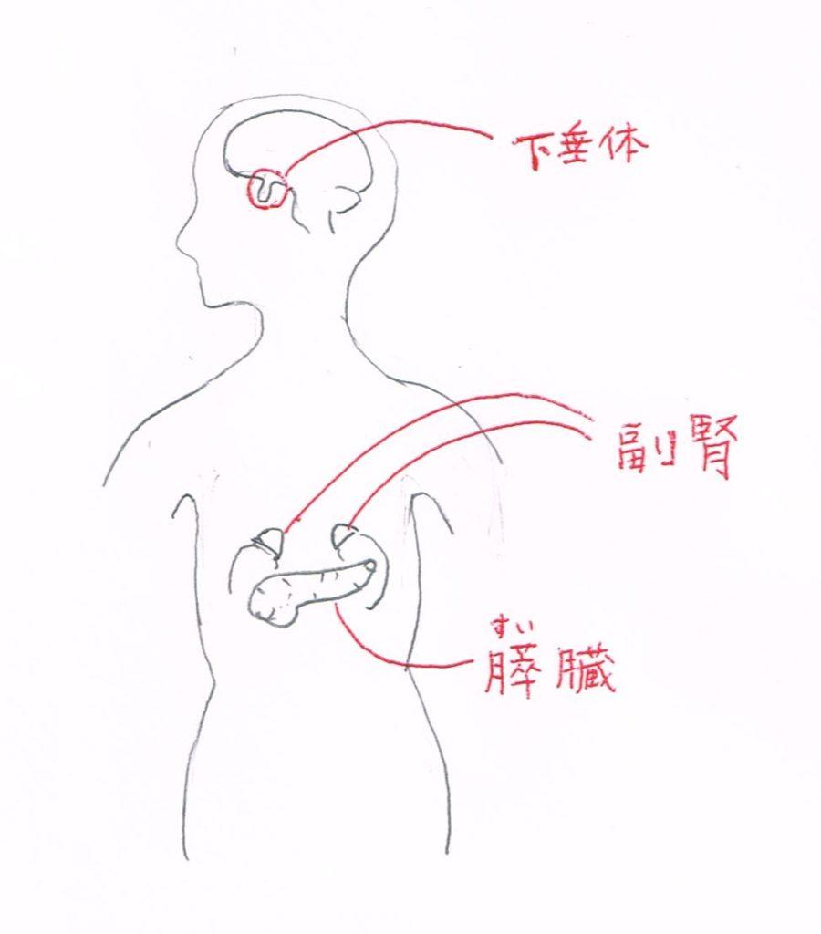 下垂体、副腎、すい臓(膵臓)の位置
