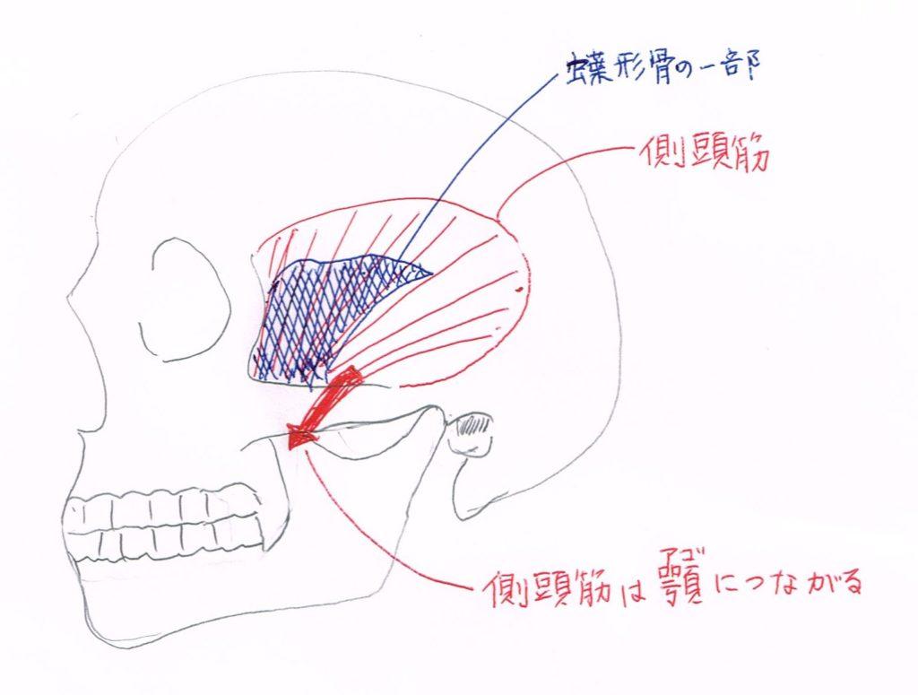 側頭筋と、顎、蝶形骨の位置関係