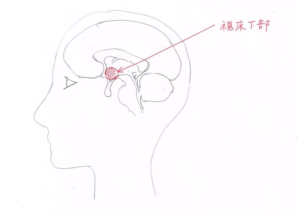 空腹感を感じる中枢=視床下部の位置
