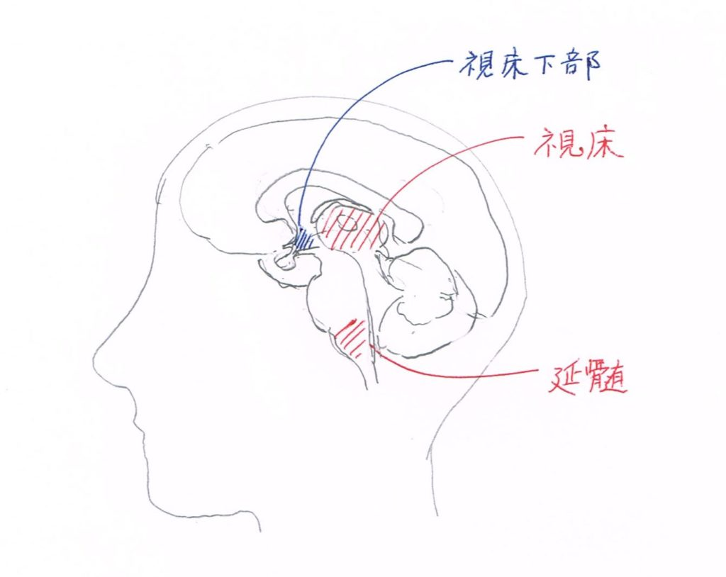 視床、視床下部、延髄の図